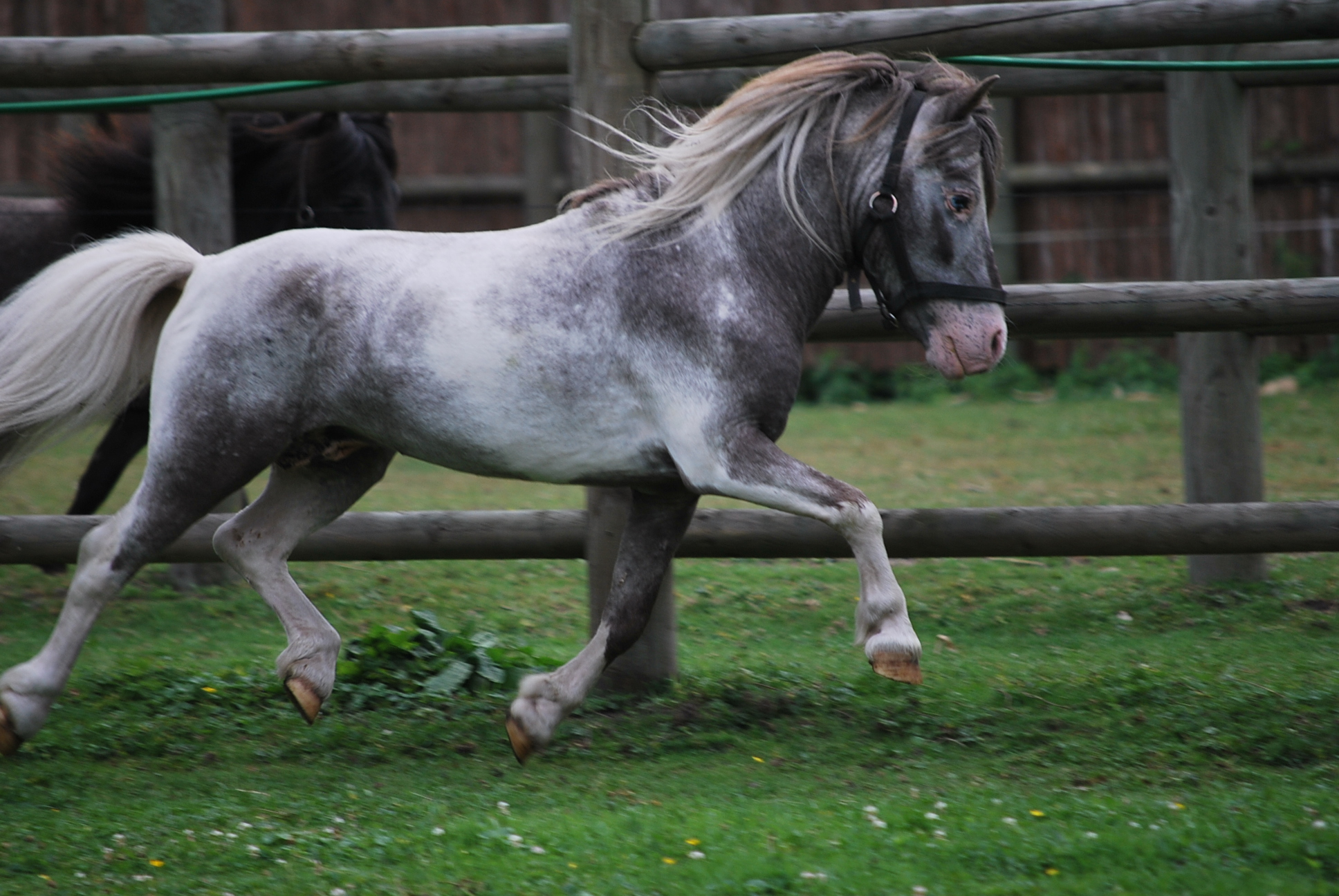 Hobby Horse Fabio