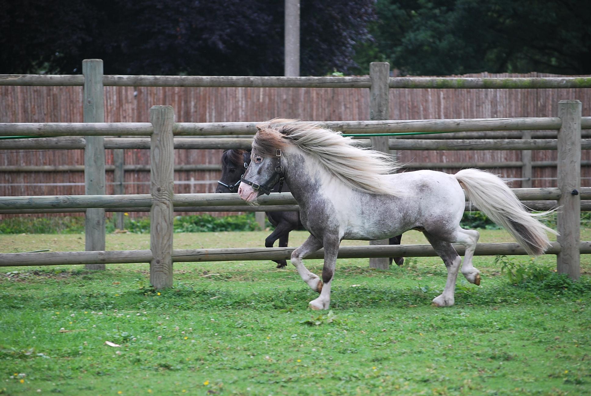 Falabella Hobby Horse Fabiosc_1099