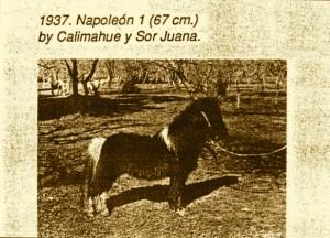 Julios stallion-Napoleon-1