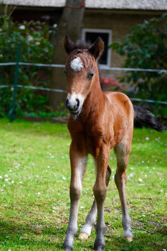 falabella foal 2015 macho