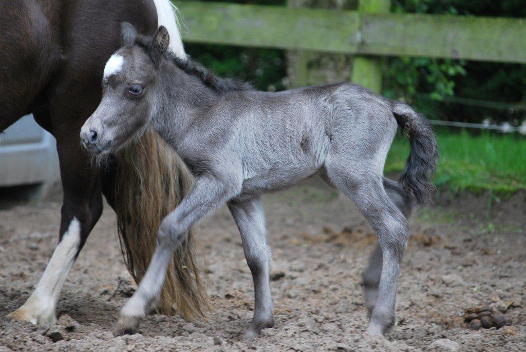 Falabella foal 2016   Stable Jeagersrust